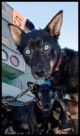 3-dog-night-musher-jodi-bailey-2014-race