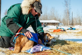 Chief veterinarian Stu Nelson examines a dog at the Tanana checkpoint during the 2017 Iditarod on Wednesday afternoon March 8, 2017.Photo by Jeff Schultz/SchultzPhoto.com  (C) 2017  ALL RIGHTS RESERVED