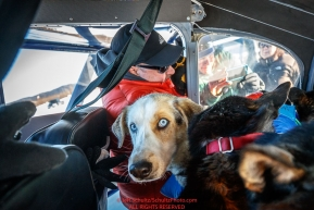 Dogs are being loaded into a plane in Tanana during the 2017 Iditarod on Wednesday March 8, 2017.Photo by Jeff Schultz/SchultzPhoto.com  (C) 2017  ALL RIGHTS RESERVED