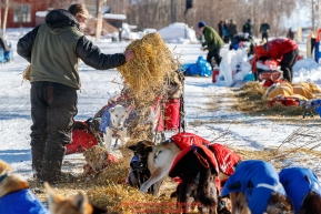 Peter Reuter gives straw to his dogs shortly after his arrival  the Tanana checkpoint during the 2017 Iditarod on Wednesday afternoon March 8, 2017.Photo by Jeff Schultz/SchultzPhoto.com  (C) 2017  ALL RIGHTS RESERVED