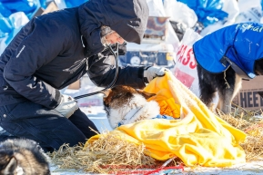 Volunteer vet Medora Pashmakova examines a dog at the Tanana checkpoint during the 2017 Iditarod on Wednesday afternoon March 8, 2017.Photo by Jeff Schultz/SchultzPhoto.com  (C) 2017  ALL RIGHTS RESERVED