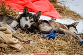 Michelle Phillips' dog Saki, sleeps atop his running mate Isis at the Takotna checkpoint during Iditarod 2016.  Alaska.  March 09, 2016.  Photo by Jeff Schultz (C) 2016  ALL RIGHTS RESERVED