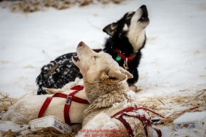 Iditarod dogs howl at Takotna during their 24-hour layover during Iditarod 2016.  Alaska.  March 09, 2016.  Photo by Jeff Schultz (C) 2016  ALL RIGHTS RESERVED