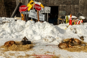 A few of Becca Moore's dogs rest at the McGrath checkpoint durig their 24-hour layover during Iditarod 2016.  Alaska.  March 09, 2016.  Photo by Jeff Schultz (C) 2016  ALL RIGHTS RESERVED