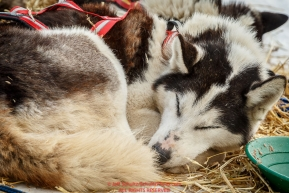 One of Lisbet Norris' Siberian Huskies sleeps at the McGrath checkpoint during Iditarod 2016.  Alaska.  March 09, 2016.  Photo by Jeff Schultz (C) 2016  ALL RIGHTS RESERVED
