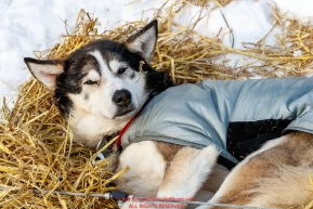 A dropped dog rests on straw at the Galena checkpoint during the 2017 Iditarod on Thursday afternoon March 9, 2017.Photo by Jeff Schultz/SchultzPhoto.com  (C) 2017  ALL RIGHTS RESERVED