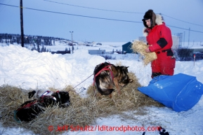 Ray Redington, Jr., straws his dogs at the Elim checkpoint on Monday March 11, 2013.Iditarod Sled Dog Race 2013Photo by Jeff Schultz copyright 2013 DO NOT REPRODUCE WITHOUT PERMISSION