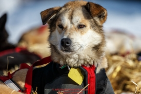 A Kelly Maixner dog rests at Ruby on Friday March 11th during Iditarod 2016.  Alaska.    Photo by Jeff Schultz (C) 2016  ALL RIGHTS RESERVED