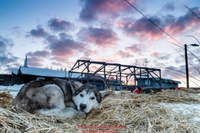 A Pete Kaiser dog who was dropped at Ruby rests on straw as dawn breaks over the Ruby Checkpoint on Saturday March 12th during the 2016 Iditarod.  Alaska    Photo by Jeff Schultz (C) 2016  ALL RIGHTS RESERVED