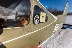 A dropped dog waits, in O.E. Robbins plane at the Ruby Checkpoint, for a ride out on Saturday March 12th during the 2016 Iditarod.  Alaska    Photo by Jeff Schultz (C) 2016  ALL RIGHTS RESERVED