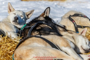 Paul Gebhardt dogs sleep in the sun on straw at the Kaltag checkpoint during the 2017 Iditarod on Sunday afternoon March 12, 2017.Photo by Jeff Schultz/SchultzPhoto.com  (C) 2017  ALL RIGHTS RESERVED