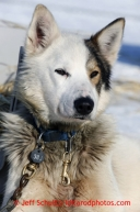 A Mitch Seavey dog rests in the warm sun in the dog lot in Nome a day after they finished in 1st place on Wednesday March 13, 2013. Iditarod Sled Dog Race 2013Photo by Jeff Schultz copyright 2013 DO NOT REPRODUCE WITHOUT PERMISSION