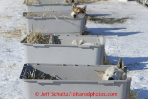 Paul Gebhart dogs sleep in their kennels in the warm sun in the dog lot in Nome on Wednesday March 13, 2013. Iditarod Sled Dog Race 2013Photo by Jeff Schultz copyright 2013 DO NOT REPRODUCE WITHOUT PERMISSION