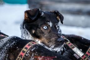A Jodi Bailey dog is attentive in the morning at the Kaltag checkpoint on Sunday March 13th during the 2016 Iditarod.  Alaska    Photo by Jeff Schultz (C) 2016  ALL RIGHTS RESERVED