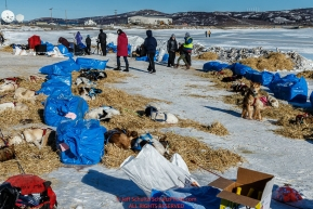 Teams rest and sleep on straw in the sun at the Unalakleet checkpoint on Sunday March 13th during the 2016 Iditarod.  Alaska    Photo by Jeff Schultz (C) 2016  ALL RIGHTS RESERVED