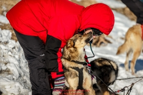 Volunteer Vet Sara Phipps examines a Richie Diehl dog at the Unalakleet checkpoint on Sunday March 13th during the 2016 Iditarod.  Alaska    Photo by Jeff Schultz (C) 2016  ALL RIGHTS RESERVED