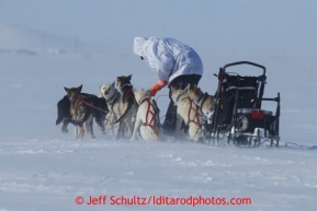 Justin Savidas untangles his gangline a few miles from Nome in 30 mph winds on Thursday March 14, 2013 during the Iditarod Sled Dog Race 2013Photo by Jeff Schultz copyright 2013 DO NOT REPRODUCE WITHOUT PERMISSION