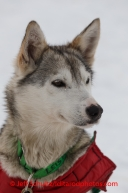 A Newton Marshall dog in the dog lot in Nome on Saturday March 15 during the 2014 Iditarod Sled Dog Race.PHOTO (c) BY JEFF SCHULTZ/IditarodPhotos.com -- REPRODUCTION PROHIBITED WITHOUT PERMISSION