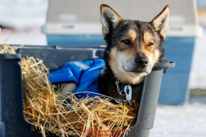 A dog from the Mitch Seavey team rests in the dog lot in Nome after they completed the 2017 Iditarod on Thursday March 16, 2017.Photo by Jeff Schultz/SchultzPhoto.com  (C) 2017  ALL RIGHTS RESERVED