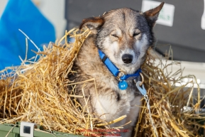 A dog from the Mats Pettersson team wakes up from under a bed of straw as it rests in the dog lot in Nome after they completed the 2017 Iditarod on Thursday March 16, 2017.Photo by Jeff Schultz/SchultzPhoto.com  (C) 2017  ALL RIGHTS RESERVED