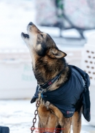 A dog howls in the dog lot in Nome during the 2017 Iditarod on Friday March 17, 2017.Photo by Jeff Schultz/SchultzPhoto.com  (C) 2017  ALL RIGHTS RESERVED
