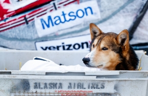 An Aliy Zirkle dog rests in a dog kennel in the dog lot in Nome  during the 2017 Iditarod on Friday March 17, 2017.Photo by Jeff Schultz/SchultzPhoto.com  (C) 2017  ALL RIGHTS RESERVED