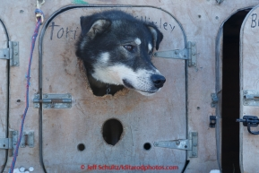 Tori does not get to run on this year's 2015 Junior Iditarod.  on Sunday March 1, 2015.   (C) Jeff Schultz/SchultzPhoto.com - ALL RIGHTS RESERVED DUPLICATION  PROHIBITED  WITHOUT  PERMISSION