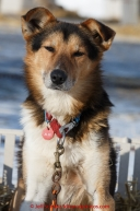 One of the Iditarod finishers in the dog lot in Nome on Saturday March 21, 2015 during Iditarod 2015.  (C) Jeff Schultz/SchultzPhoto.com - ALL RIGHTS RESERVED DUPLICATION  PROHIBITED  WITHOUT  PERMISSION