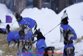 Thursday March, 2012   Karin Hendrickson dogs howl during their 24 hour layover at the Takotna checkpoint.   Iditarod 2012.