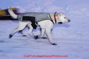 Thursday March, 2012  Jodi Bailey &#039;s lead dogs are all business as they leave the Takotna checkpoint after taking their 24 hour layover.   Iditarod 2012.
