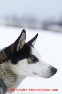 A Rudy Demoski dog at the halfway checkpoint of Iditarod on Friday March 8, 2013.Iditarod Sled Dog Race 2013Photo by Jeff Schultz copyright 2013 DO NOT REPRODUCE WITHOUT PERMISSION