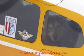 A dropped dog stares out the window of pilot Jim Kintz ' plane at the halfway checkpoint of Iditarod on their way back to McGrath on Friday March 8, 2013.Iditarod Sled Dog Race 2013Photo by Jeff Schultz copyright 2013 DO NOT REPRODUCE WITHOUT PERMISSION