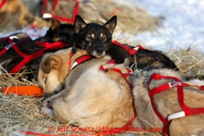 Jake Berkowitz's dogs sleep together at the Kaltag checkpoint on Saturday March 9, 2013.Iditarod Sled Dog Race 2013Photo by Jeff Schultz copyright 2013 DO NOT REPRODUCE WITHOUT PERMISSION