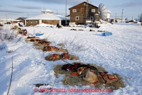 Jake Berkowitz's dogs sleep and rest together with other teams at the Kaltag checkpoint on Saturday March 9, 2013.Iditarod Sled Dog Race 2013Photo by Jeff Schultz copyright 2013 DO NOT REPRODUCE WITHOUT PERMISSION