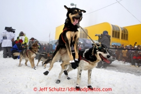 A Newton Marshall's dog leaps to go while at the start line during the ceremonial start of the Iditarod sled dog race in downtown Anchorage Saturday, March 2, 2013. Photo (C) Jeff Schultz/IditarodPhotos.com  Do not reproduce without permission
