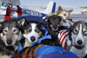 Wednesday March 14, 2012   Dropped dogs wait in the back of a pickup truck for a drive to the dog lot in Nome after being brought in on volunteer pilot Jerry Wortley's Cessna 185 to Nome. Iditarod 2012.