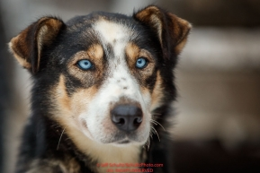 Larry Daughtery's dog Wally during the ceremonial start of the 2018 Iditarod in Anchorage, Alaska on Saturday, March 1 2018.Photo by Jeff Schultz/SchultzPhoto.com  (C) 2018  ALL RIGHTS RESERVED