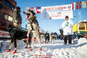 A Ray Redington Jr. dog jumps in anticipatioin of leaving the start line during the Ceremonial Start of the 2017 Iditarod in Anchorage on Saturday March 4, 2017 Photo by Jeff Schultz/SchultzPhoto.com  (C) 2017  ALL RIGHTS RESVERVED