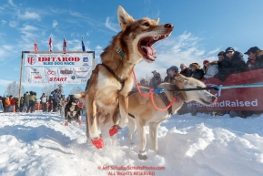 A Ray Redington Jr. dog leaps with excitement on Willow Lake at the Official Start of the 2018 Iditarod Sled Dog Race in Willow, Alaska on March 04, 2018. Photo by Jeff Schultz/SchultzPhoto.com  (C) 2018  ALL RIGHTS RESERVED