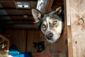 A dog waits in the trailer at the staging area prior to the re-start of the 2017 Iditarod in Fairbanks, Alaska at Pike's Landing on Monday March 6, 2017.Photo by Jeff Schultz/SchultzPhoto.com  (C) 2017  ALL RIGHTS RESVERVED