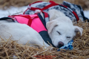 A Magnus Kaltenborn dog sleeps on his bed of straw in the morning at the Nikolai checkpoint during the 2018 Iditarod race on Wednesday March 07, 2018. Photo by Jeff Schultz/SchultzPhoto.com  (C) 2018  ALL RIGHTS RESERVED