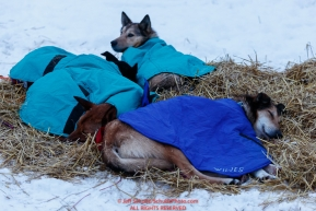 Misha Wiljes dogs rest under blankets on straw in the morning at the Nikolai checkpoint during the 2018 Iditarod race on Wednesday March 07, 2018. Photo by Jeff Schultz/SchultzPhoto.com  (C) 2018  ALL RIGHTS RESERVED