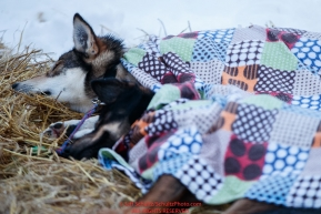 Jeff Deeter dogs sleep under colorful blankets on a bed of straw in the morning at the Nikolai checkpoint during the 2018 Iditarod race on Wednesday March 07, 2018. Photo by Jeff Schultz/SchultzPhoto.com  (C) 2018  ALL RIGHTS RESERVED