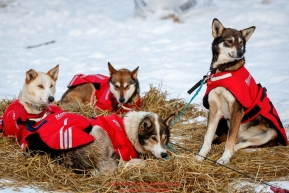 Shaynee Traska dogs are alert at the Takotna checkpoint on Thursday, March 8th during the 2018 Iditarod Sled Dog Race -- AlaskaPhoto by Jeff Schultz/SchultzPhoto.com  (C) 2018  ALL RIGHTS RESERVED