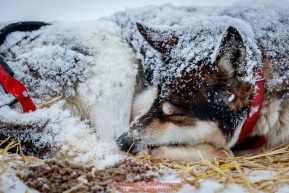 A Mike Williams dog sleeps during a snowfall at the Iditarod checkpoint on Friday, March 9th during the 2018 Iditarod Sled Dog Race -- AlaskaPhoto by Jeff Schultz/SchultzPhoto.com  (C) 2018  ALL RIGHTS RESERVED