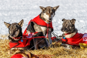 Laura Neese dogs Aruba, Auora and Brennan soak up the sun at the Galena checkpoint during the 2017 Iditarod on Friday afternoon March 10, 2017.Photo by Jeff Schultz/SchultzPhoto.com  (C) 2017  ALL RIGHTS RESERVED