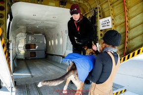 Dog drop handlers Shannon Post and Emily Maxwell load one of 72 dropped dogs into a CASA airplane at the Galena airport during the 2017 Iditarod on Friday afternoon March 10, 2017.Photo by Jeff Schultz/SchultzPhoto.com  (C) 2017  ALL RIGHTS RESERVED