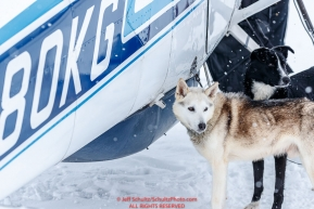 Dropped dogs wait to get loaded into Jerry Wortley's plane at the ghost-town checkpoint of Iditarod on Saturday, March 10th during the 2018 Iditarod Sled Dog Race -- AlaskaPhoto by Jeff Schultz/SchultzPhoto.com  (C) 2018  ALL RIGHTS RESERVED