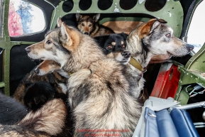 Dropped dogs look out the window of Wes Erb's plane as they prepare for a flight back to McGrath at the ghost-town checkpoint of Iditarod on Saturday, March 10th during the 2018 Iditarod Sled Dog Race -- AlaskaPhoto by Jeff Schultz/SchultzPhoto.com  (C) 2018  ALL RIGHTS RESERVED