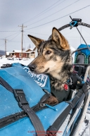 Cody Strathe's dog Neka rides in the basket as he checks into the Kaltag village checkpoint on Sunday afternoon March 11th during the 2018 Iditarod Sled Dog Race -- AlaskaPhoto by Jeff Schultz/SchultzPhoto.com  (C) 2018  ALL RIGHTS RESERVED